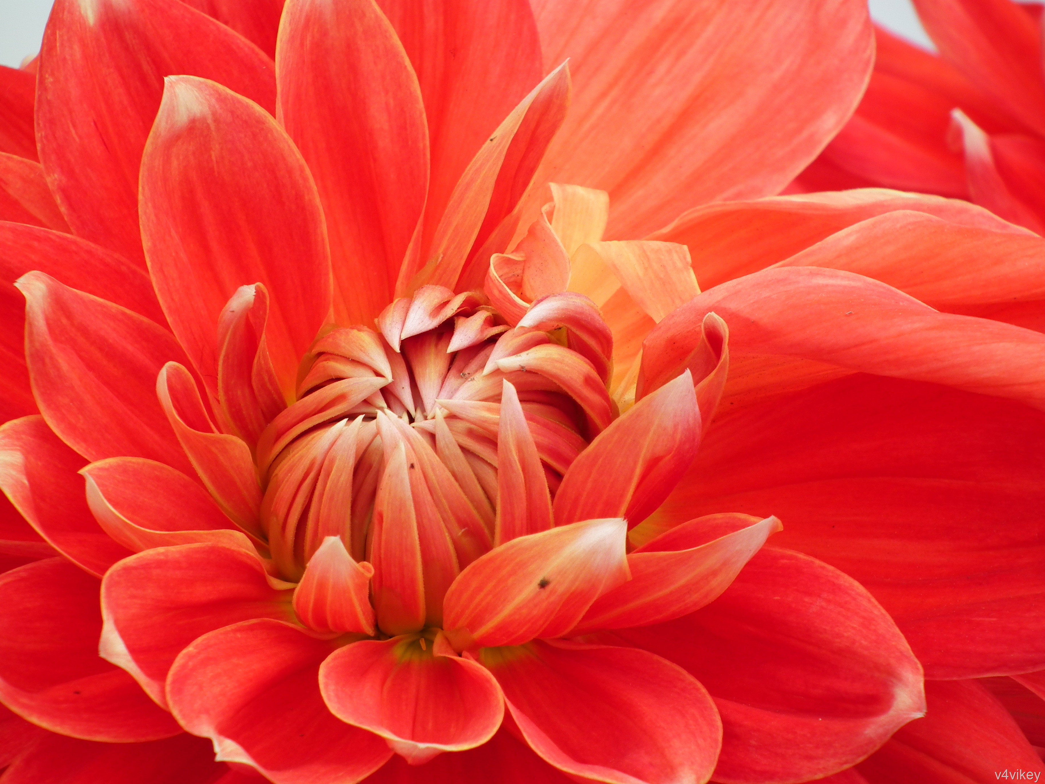 Orange Dahlia Hd Wallpaper Wallpaper Tadka