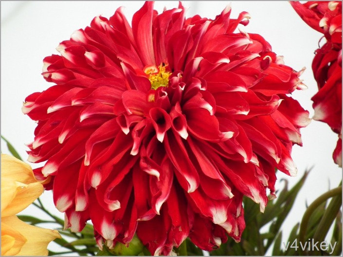 Red color Dahlia Flower Wallpaper
