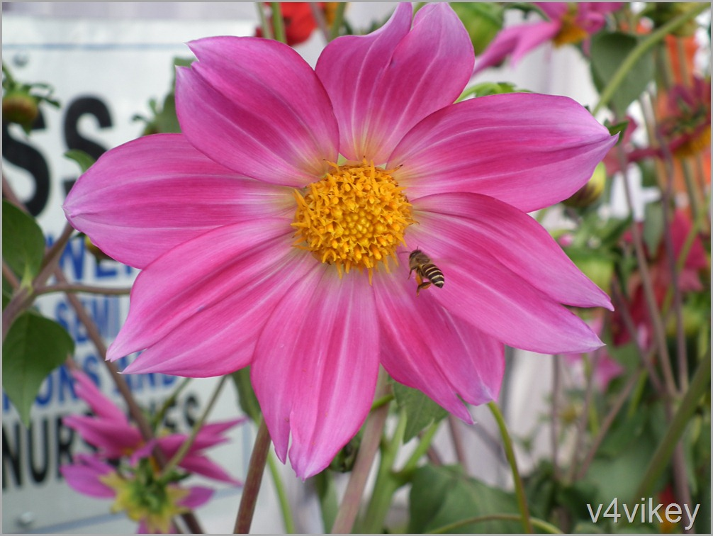 Single Dahlia Flowers