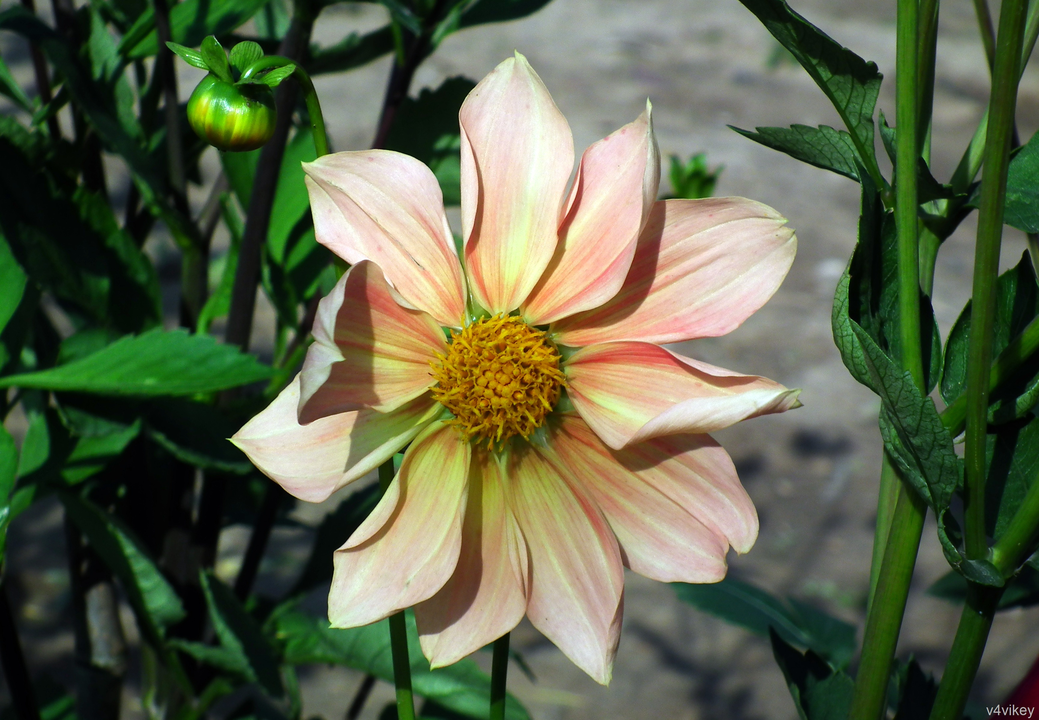 Happy gugi apricot color dahlia for Portent of betrayal