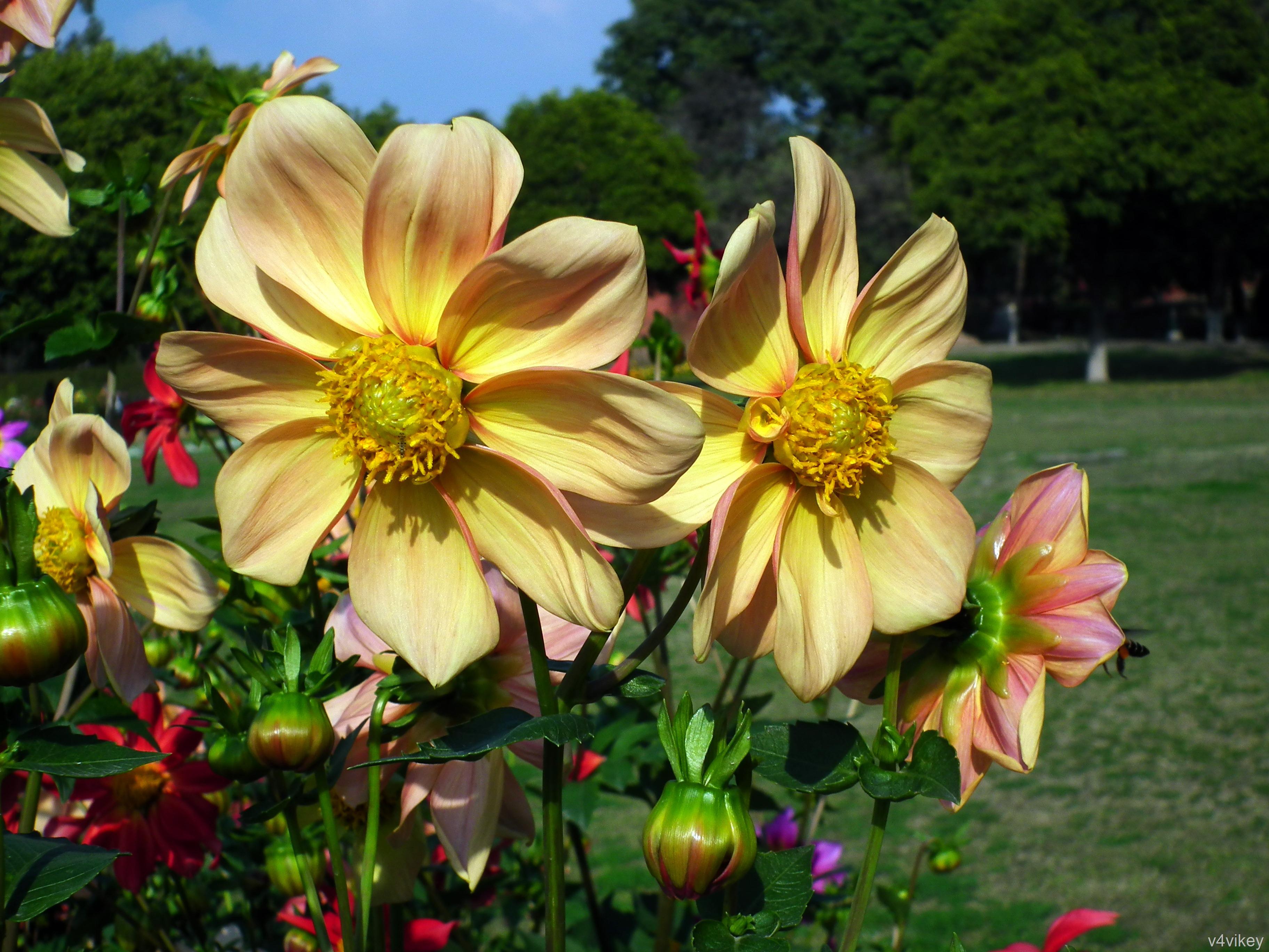 Dahlia Flowers Wallpaper Tadka