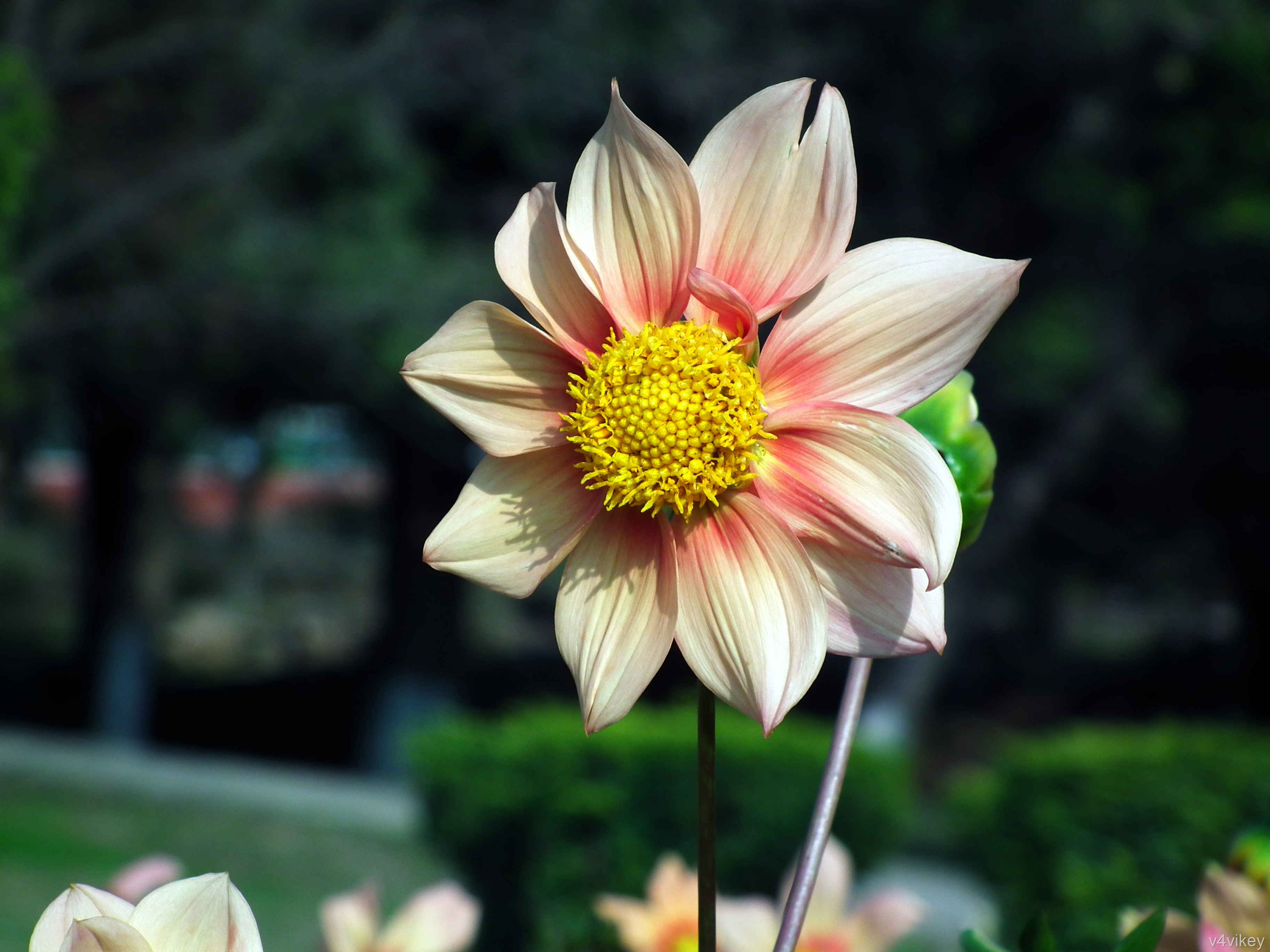 Happy gugi apricot color dahlia wallpaper for Portent of betrayal