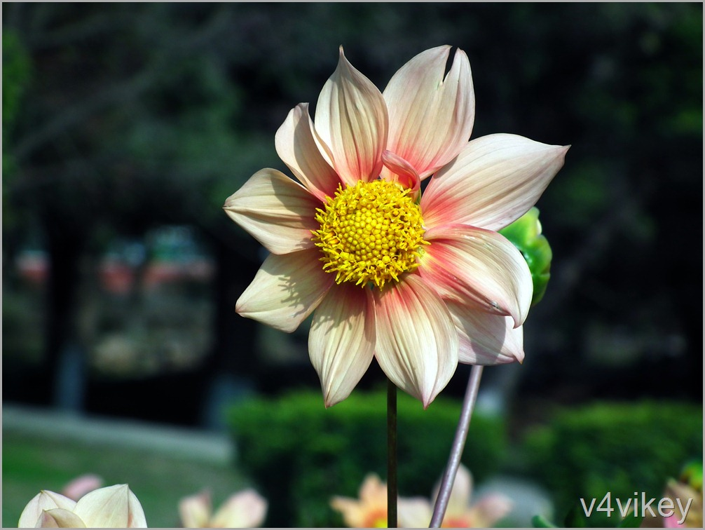 Apricot Color Dahlia Wallpaper