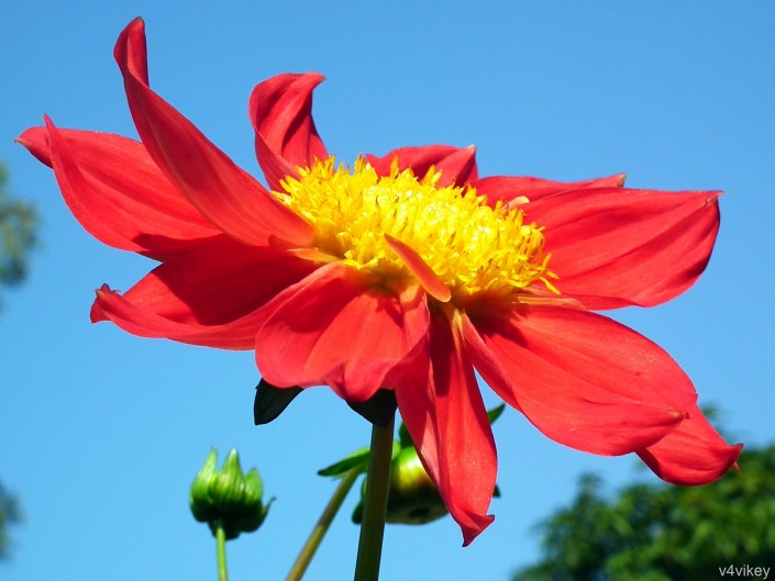 Red Color Dahlia Flower