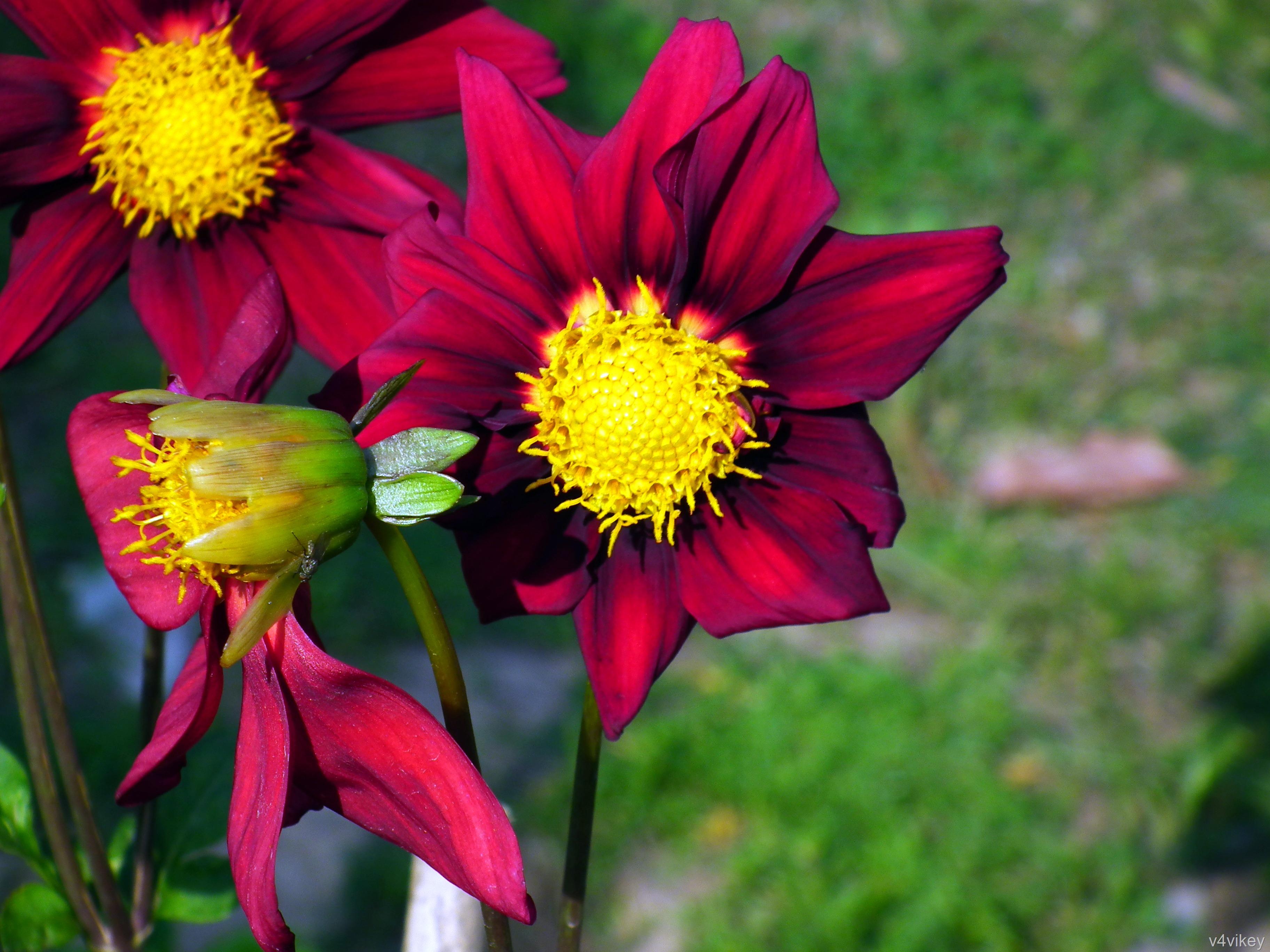 Deep Red Dahlia Flower Wallpaper Tadka