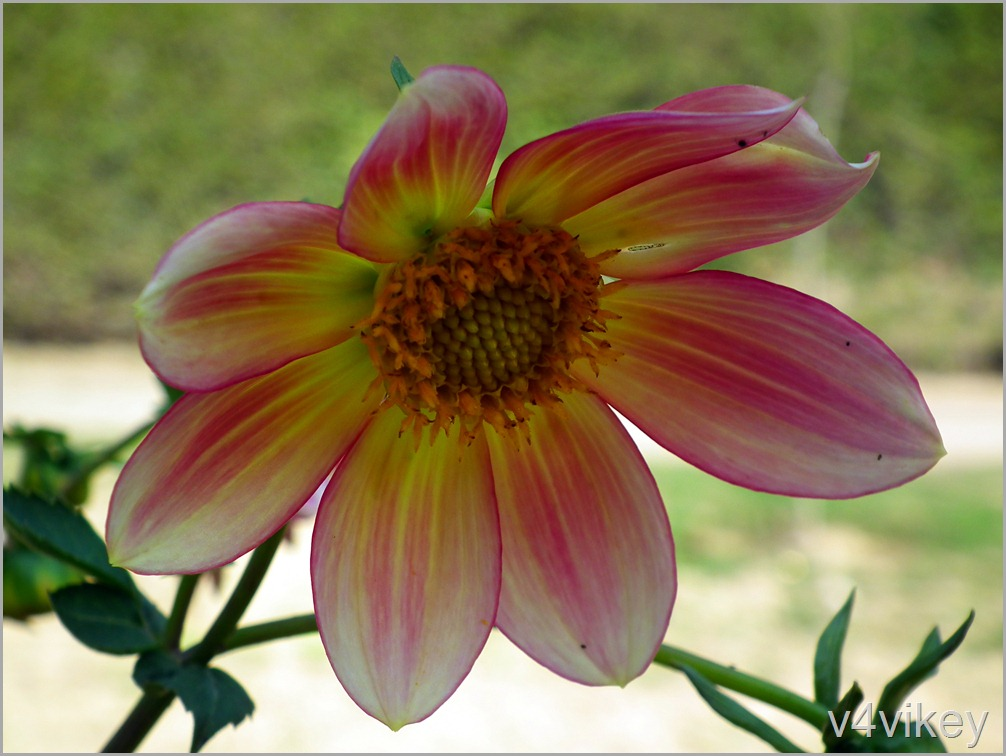 Double Shaded Dahlia Flower