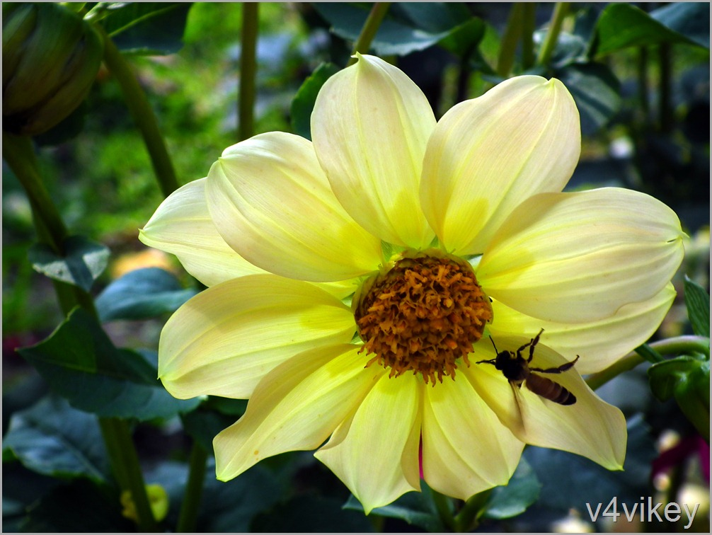 Lemon Color Dahlia Flower