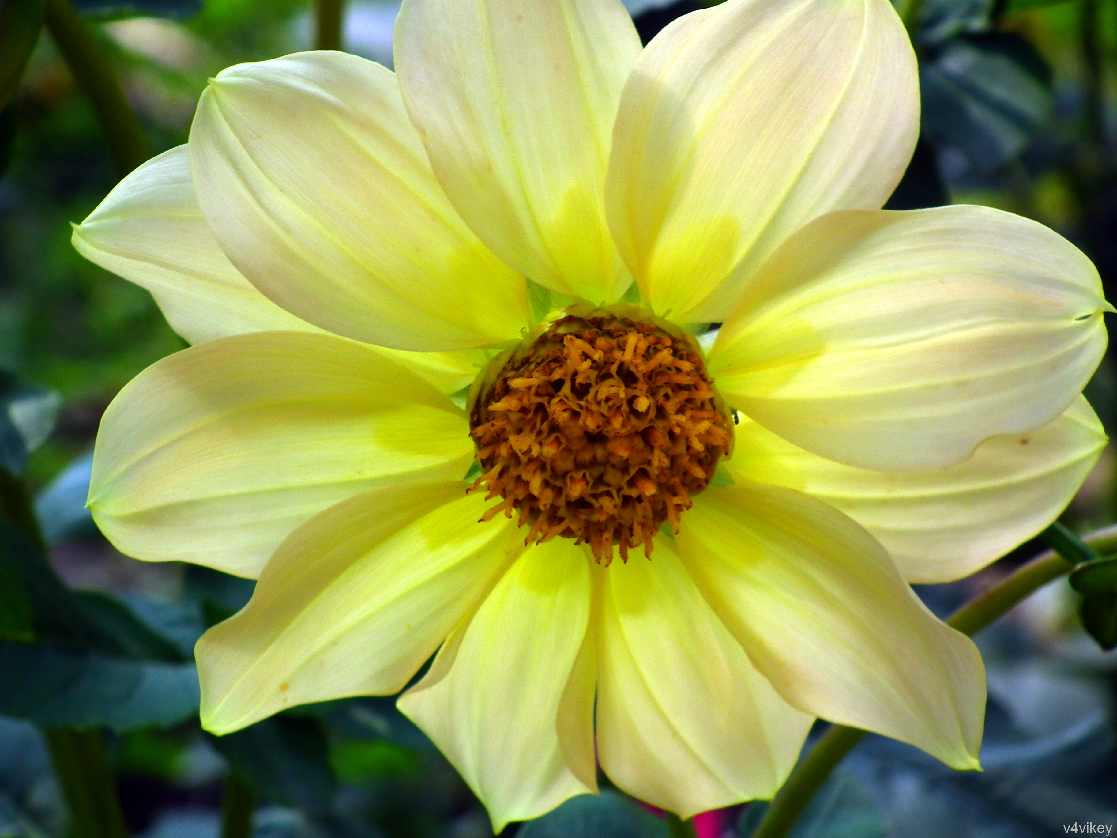 Light yellow dahlia flowers wallpaper tadka light yellow dahlia flowers izmirmasajfo