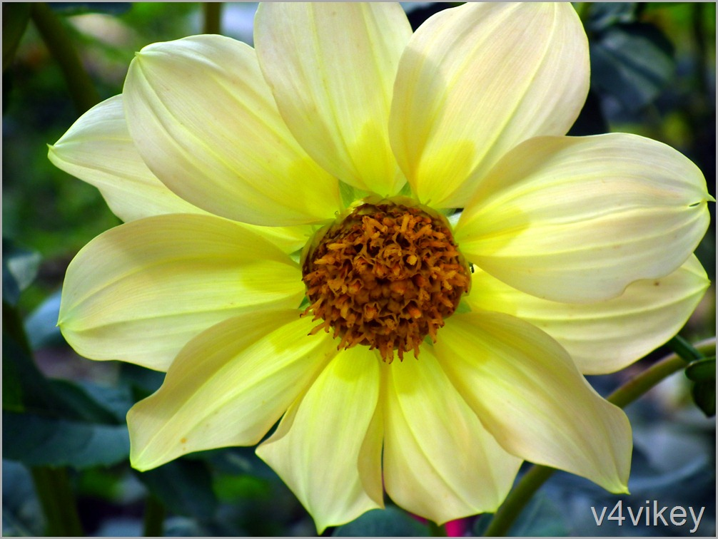 Lime color Dahlia