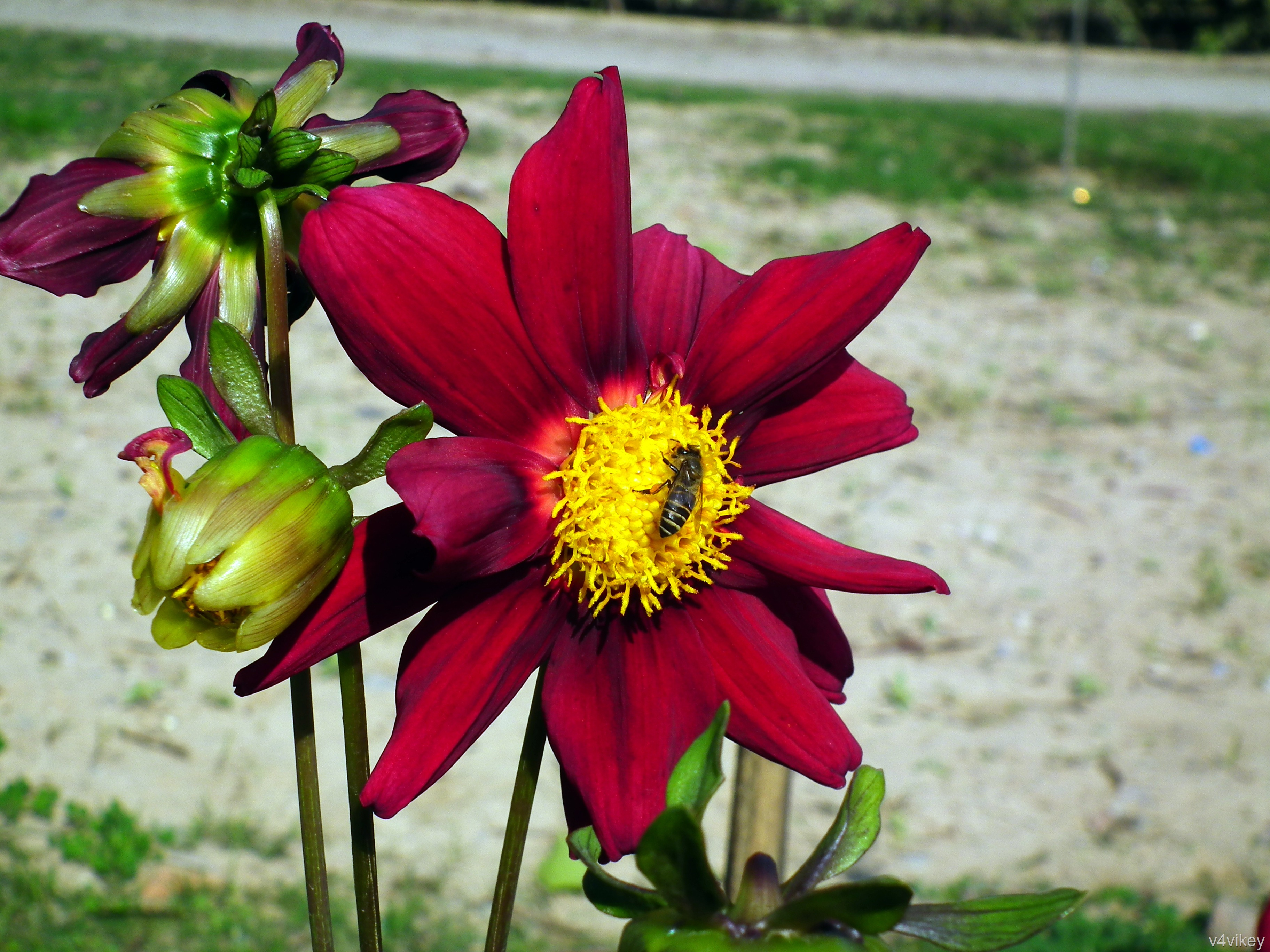 maroon color flowers wallpaper tadka