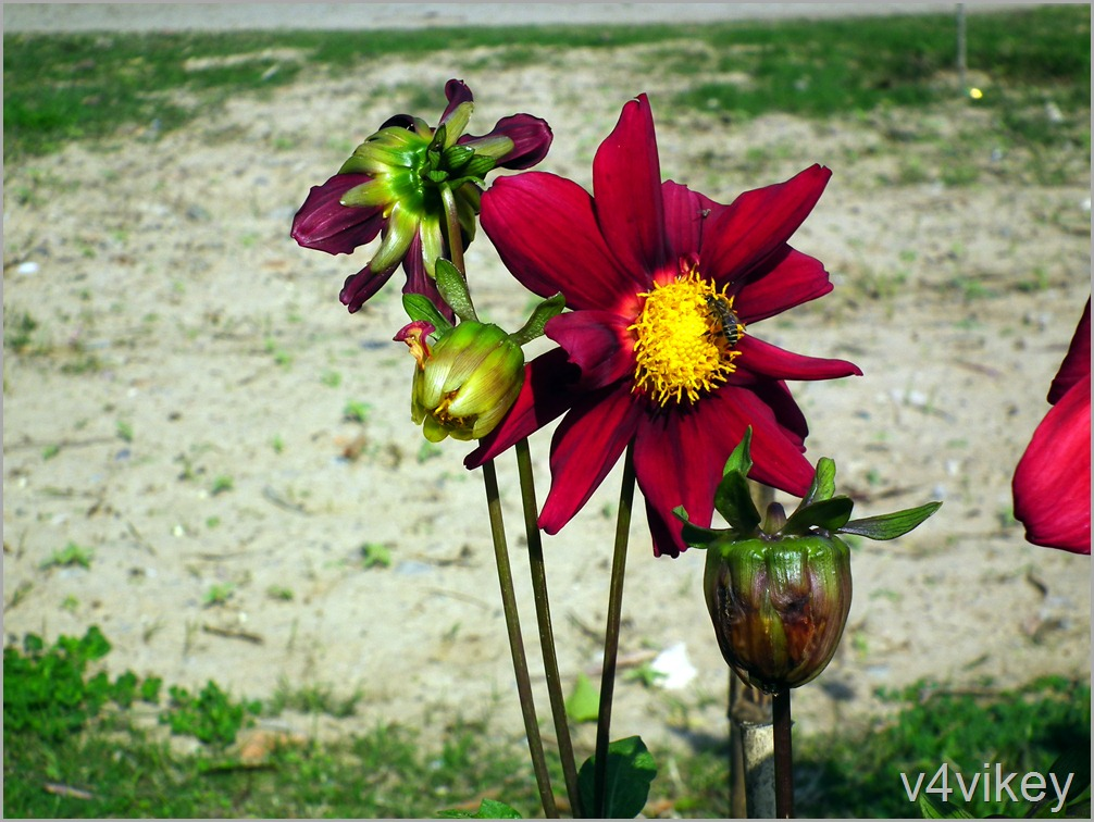 Maroon Dahlia Flower