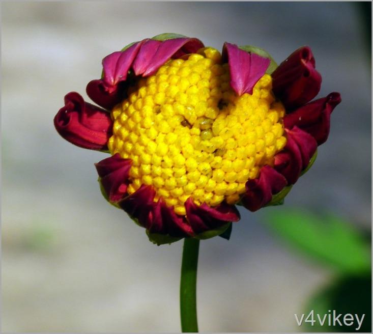 Beautiful Dahlia Flower Wallpaper Beautiful Dahlia Flowers