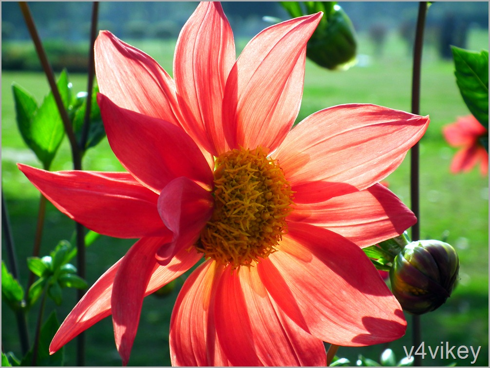 Orange Color Dahlia