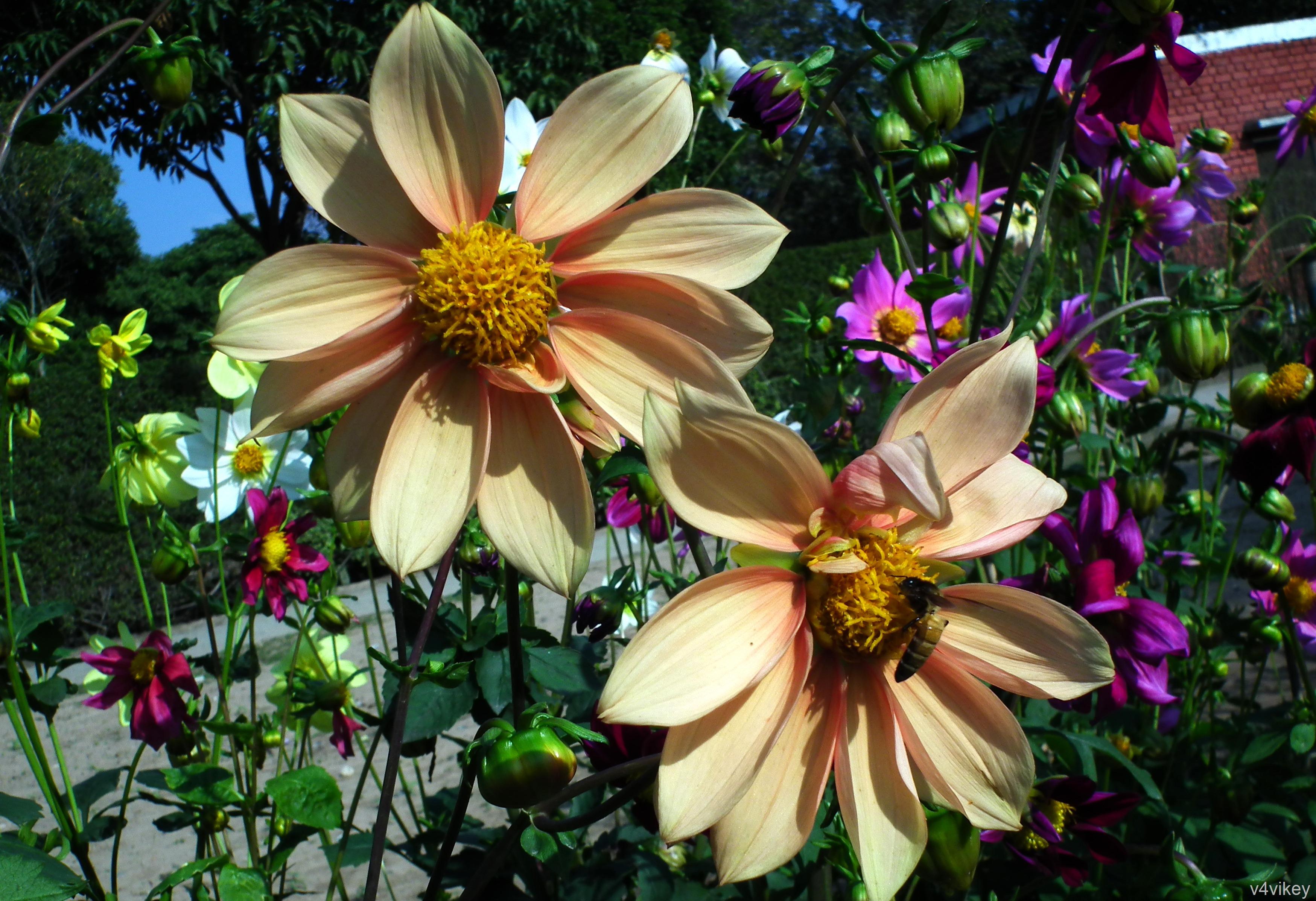Beautiful Apricot Bronze Color Dahlia Flower Photograph Wallpaper
