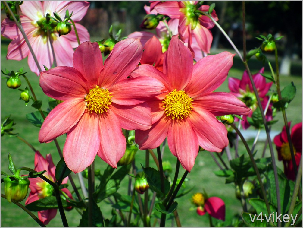 Orange Red Color Dahlia Flowers