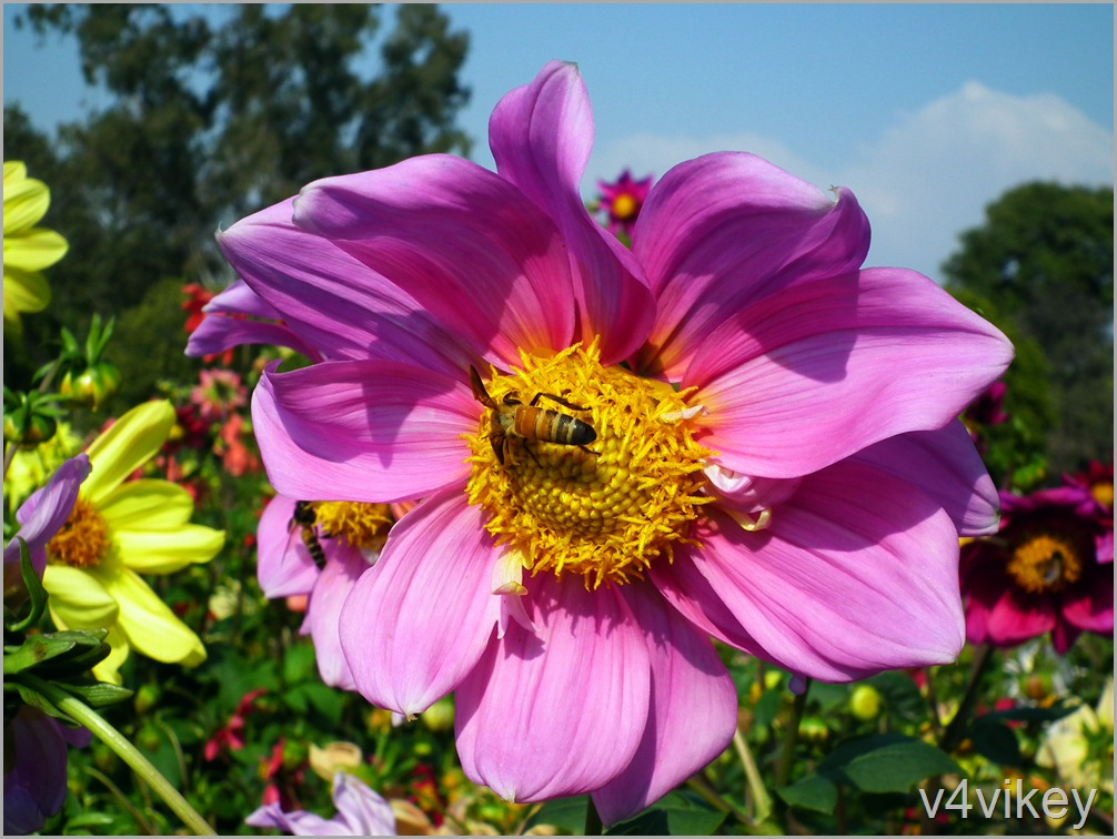Pink Dahlia With Honey Bee