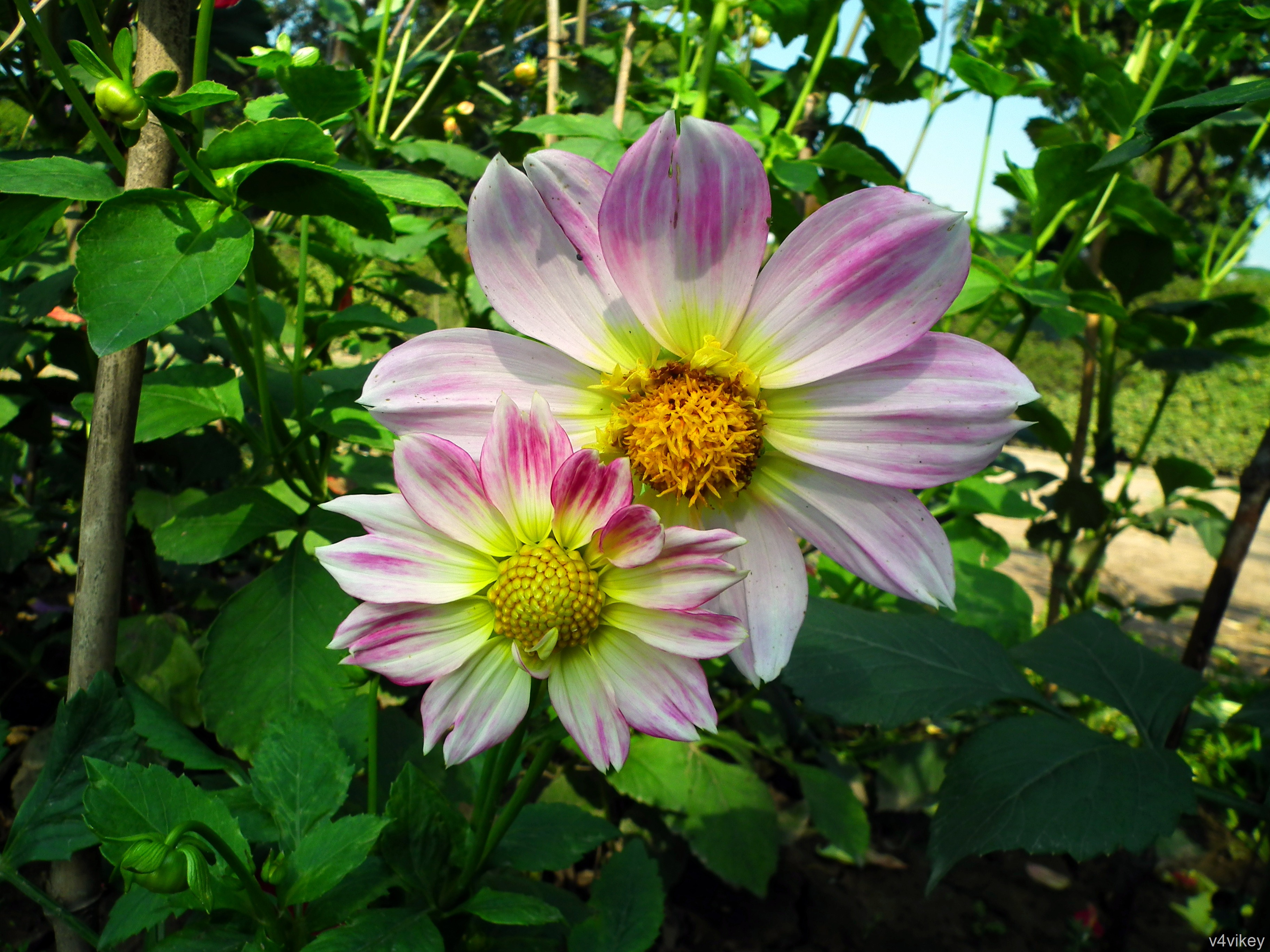 Pink white dahlia flowers wallpaper tadka pink white dahlia flowers izmirmasajfo