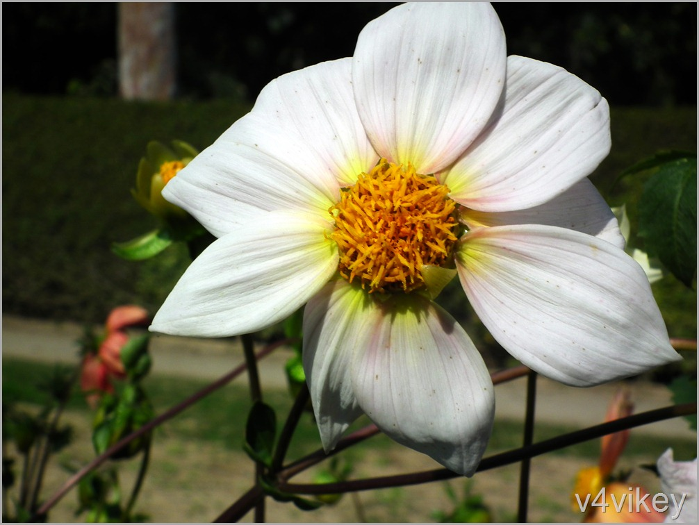 White Dahlia Flower Wallpaper