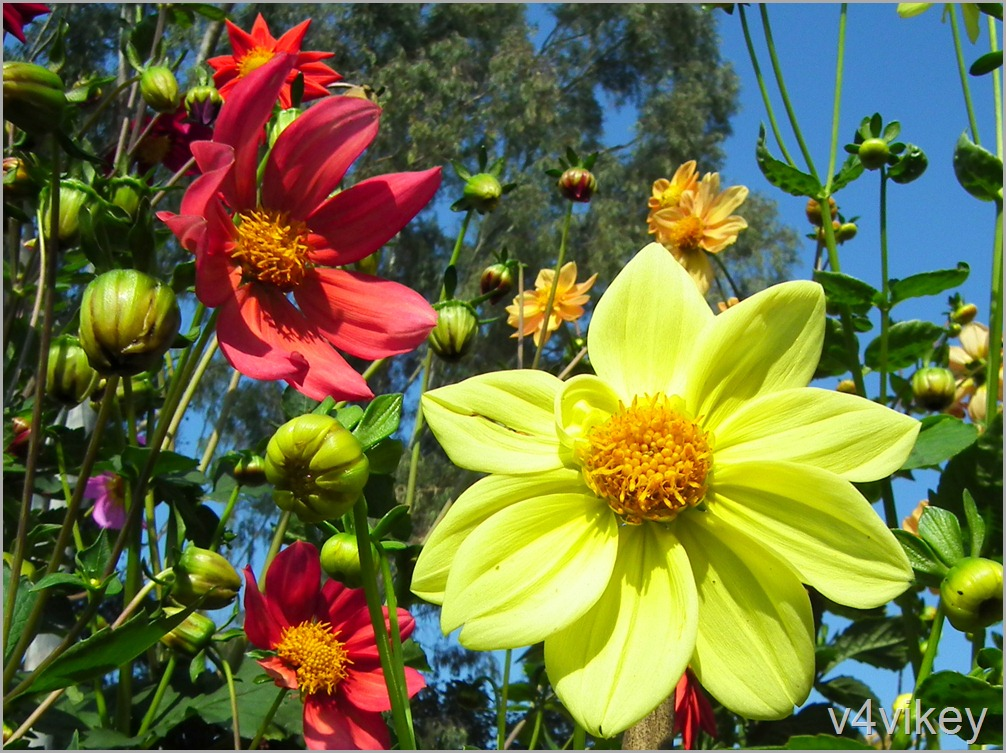 Yellow color Dahlia Flower