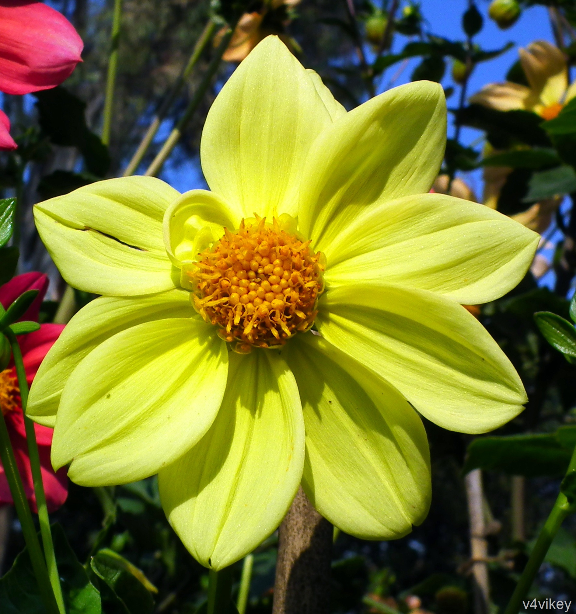 Yellow color dahlia flower wallpaper tadka yellow color dahlia flower izmirmasajfo