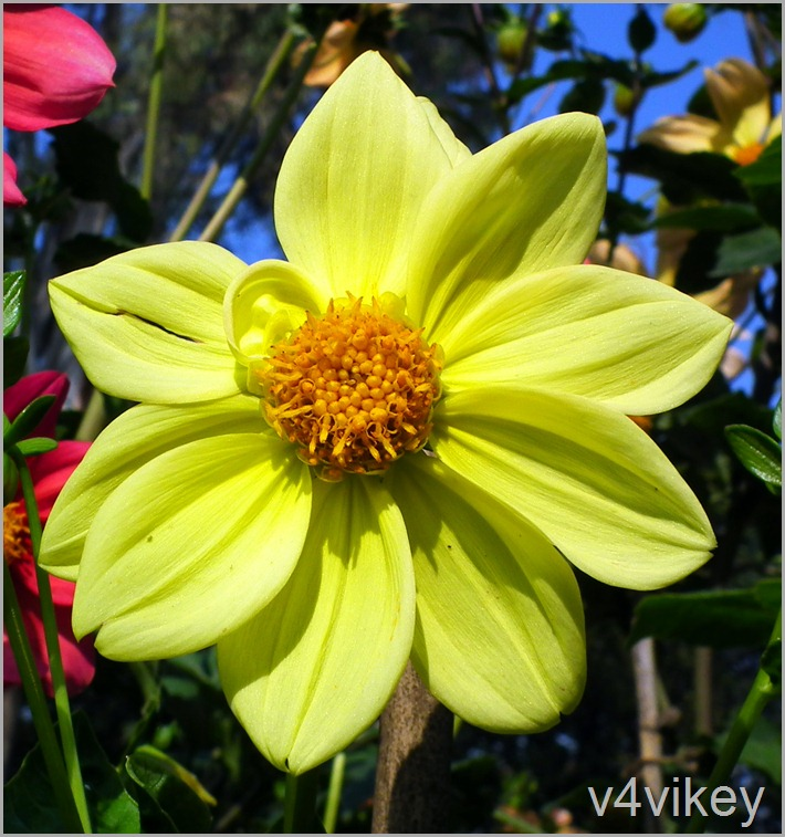 Yellow Dahlia Flower Wallpaper