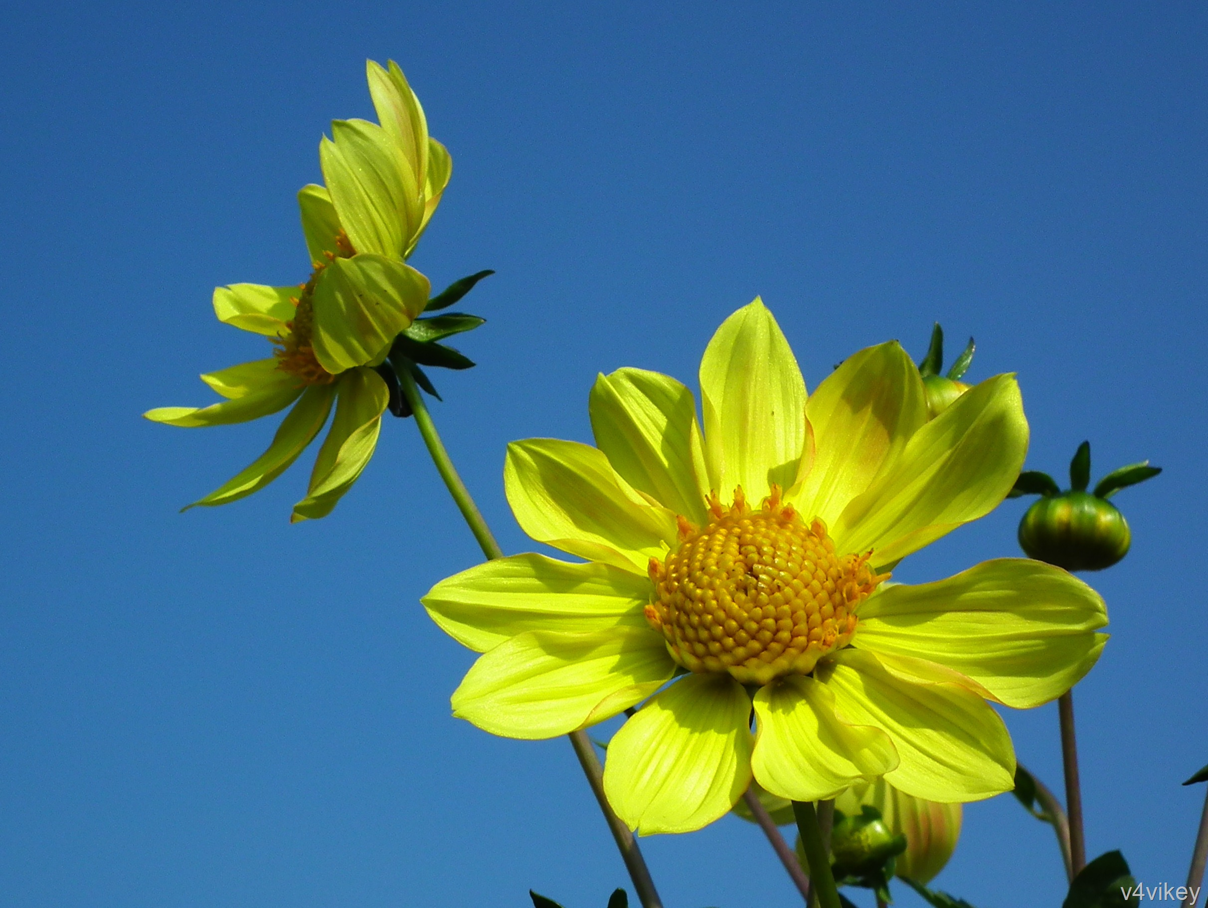 Dahlia Flower Bright Yellow Color Wallpaper Tadka