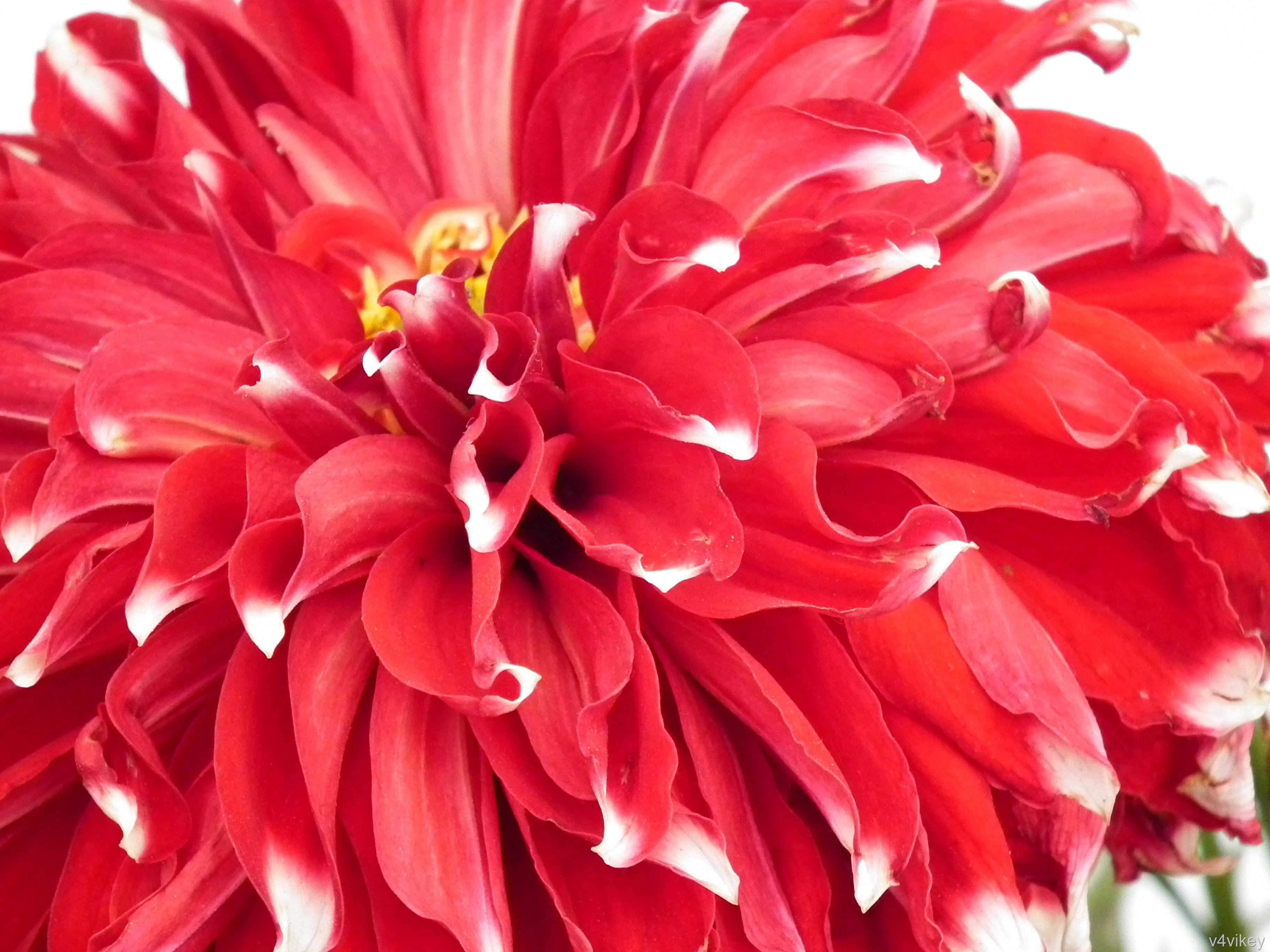 A La Mode Red Dahlia Flower Wallpaper Tadka