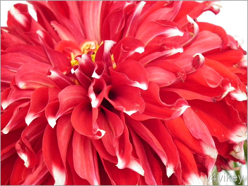 A La Mode Red Dahlia Flower