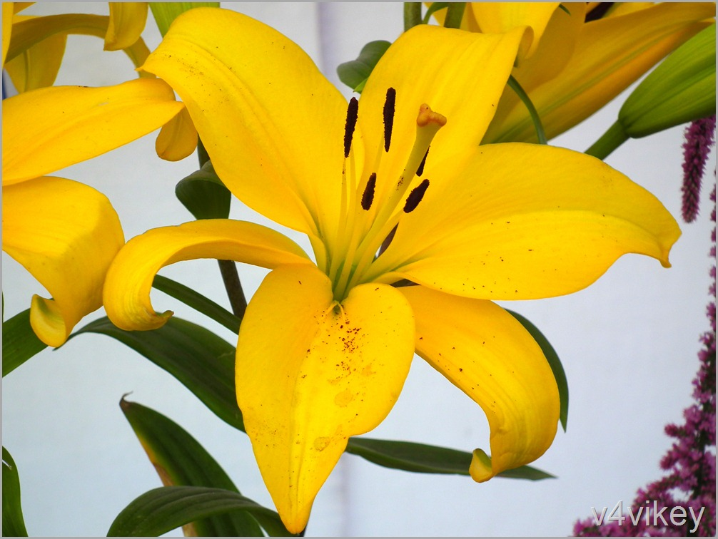 Bright Yellow Daylily Flower