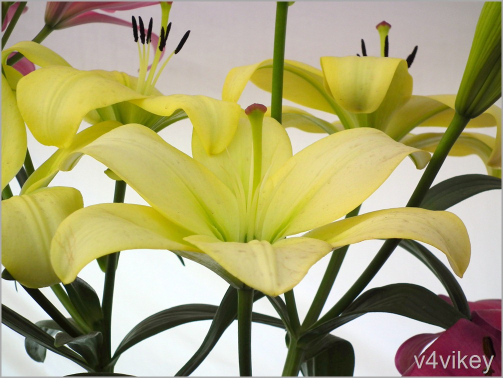 Lime Color Daylily