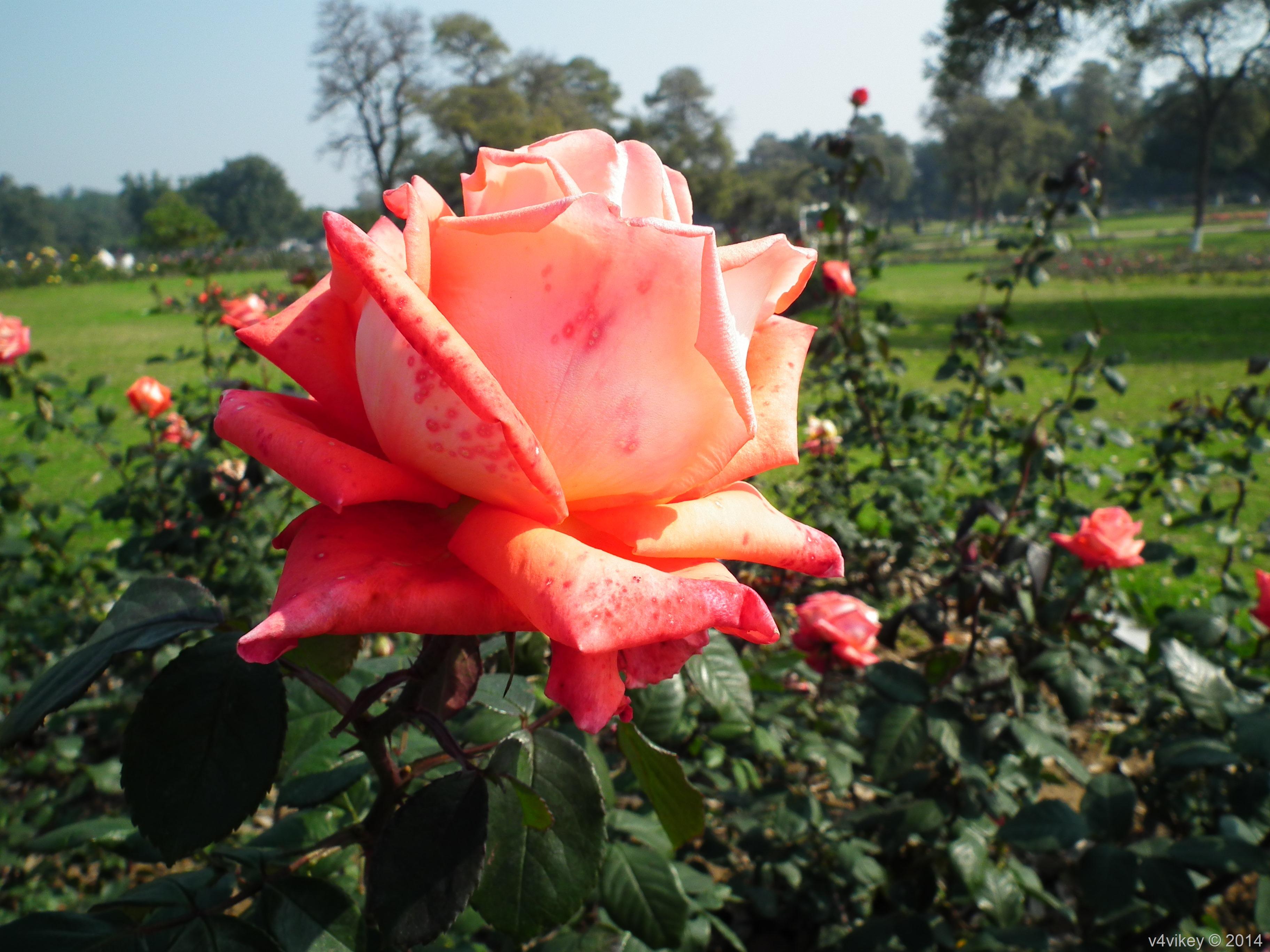 Orange Color Rose Flower « Wallpaper Tadka