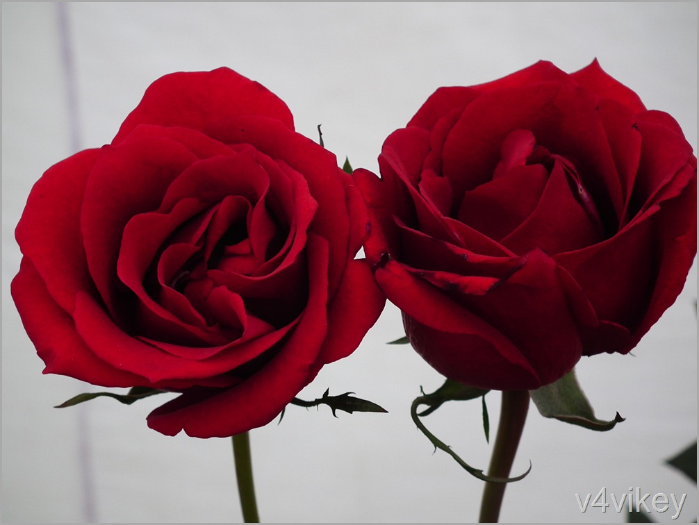 Two Red Rose Flower