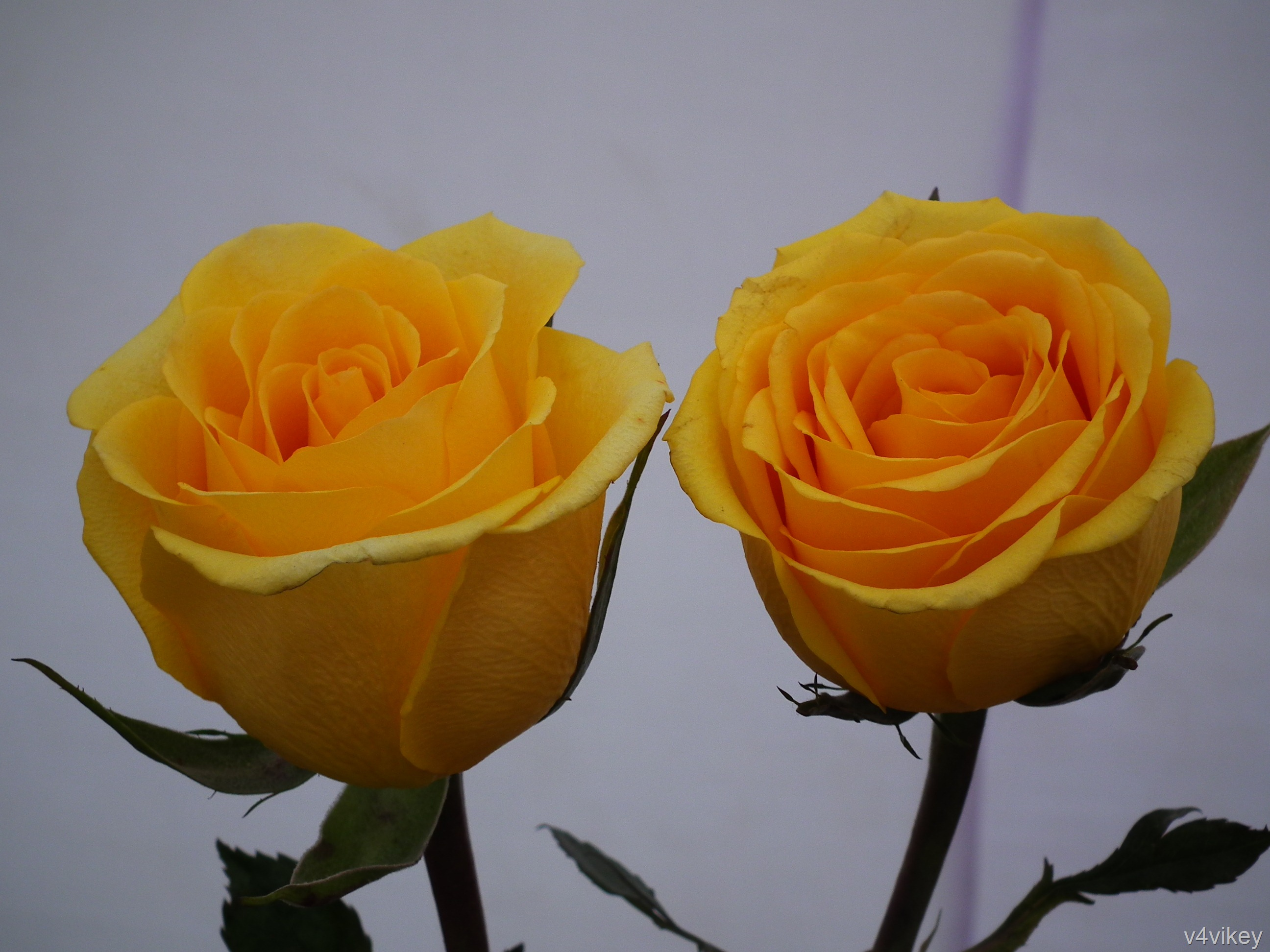 two yellow color rose flowers wallpaper tadka