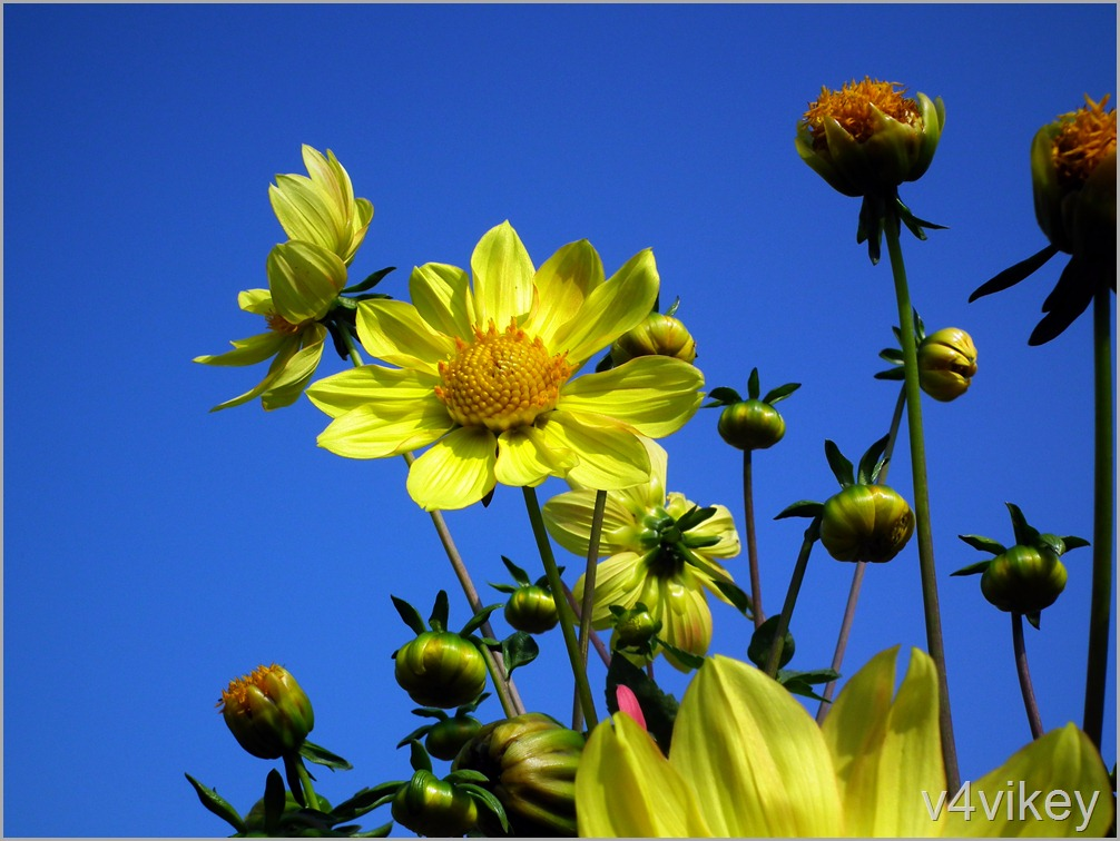 Yellow Color Dahlia