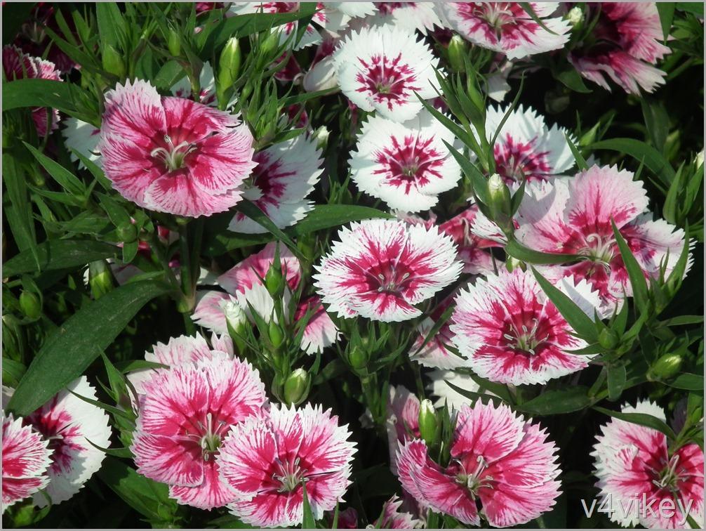 Arctic Fire Dianthus Flower