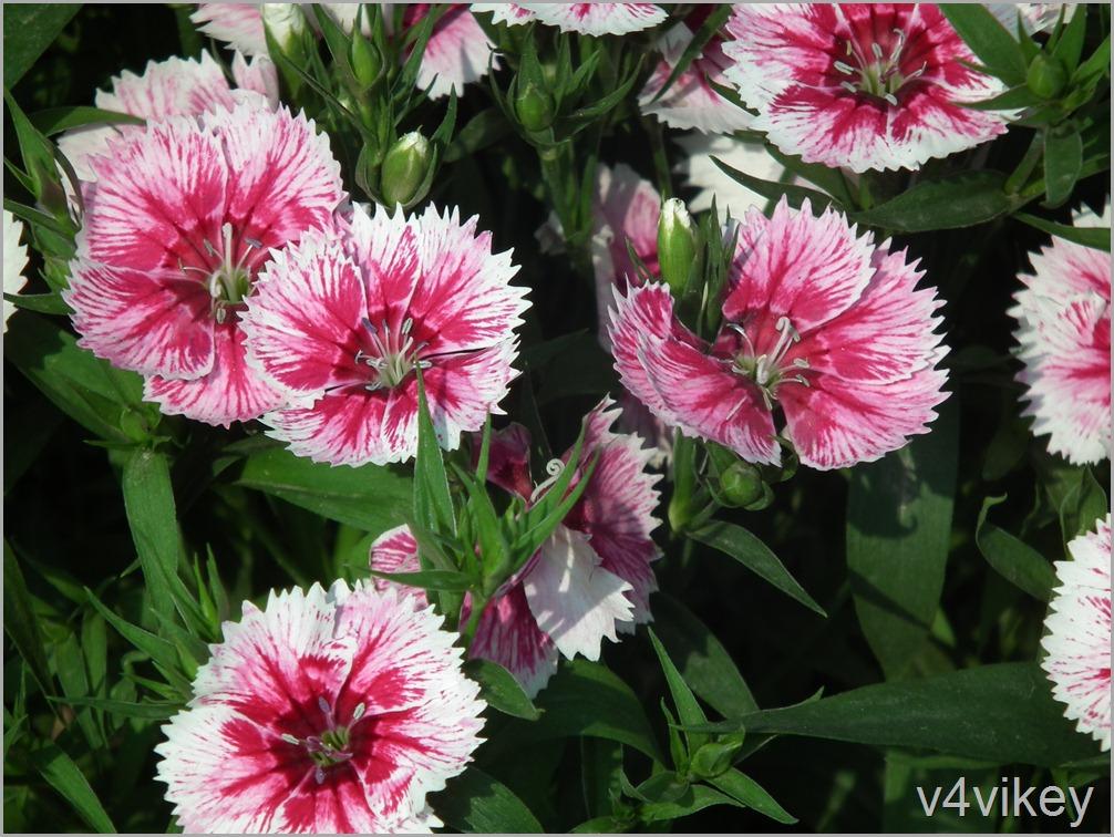 Arctic Fire Dianthus Flowers