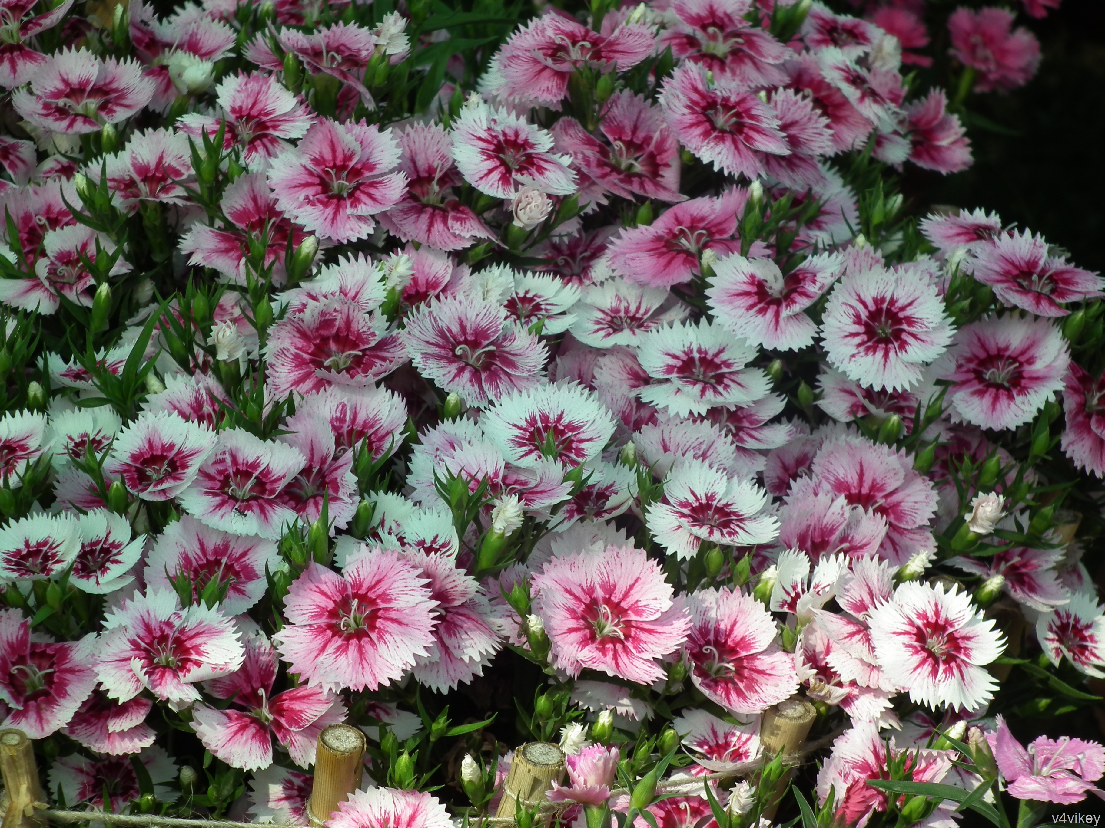 Arctic Fire Sweet William flower Wallpaper Tadka