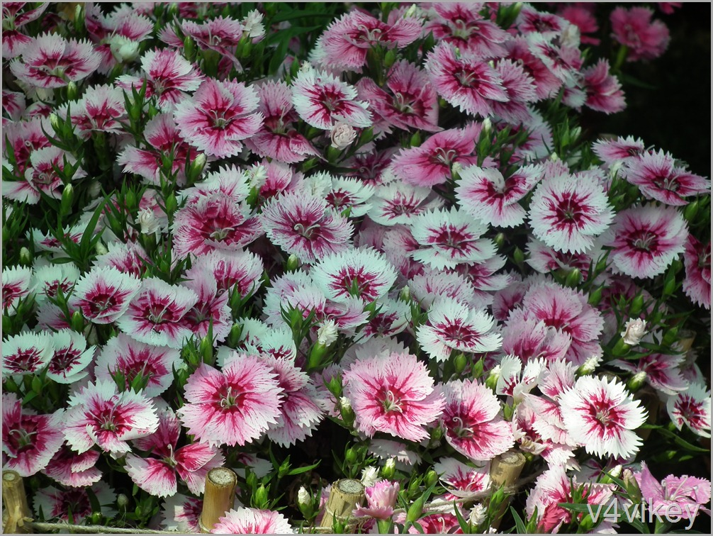 Arctic Fire Sweet William flower