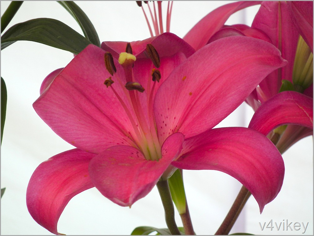 Deep Pink Color Daylily