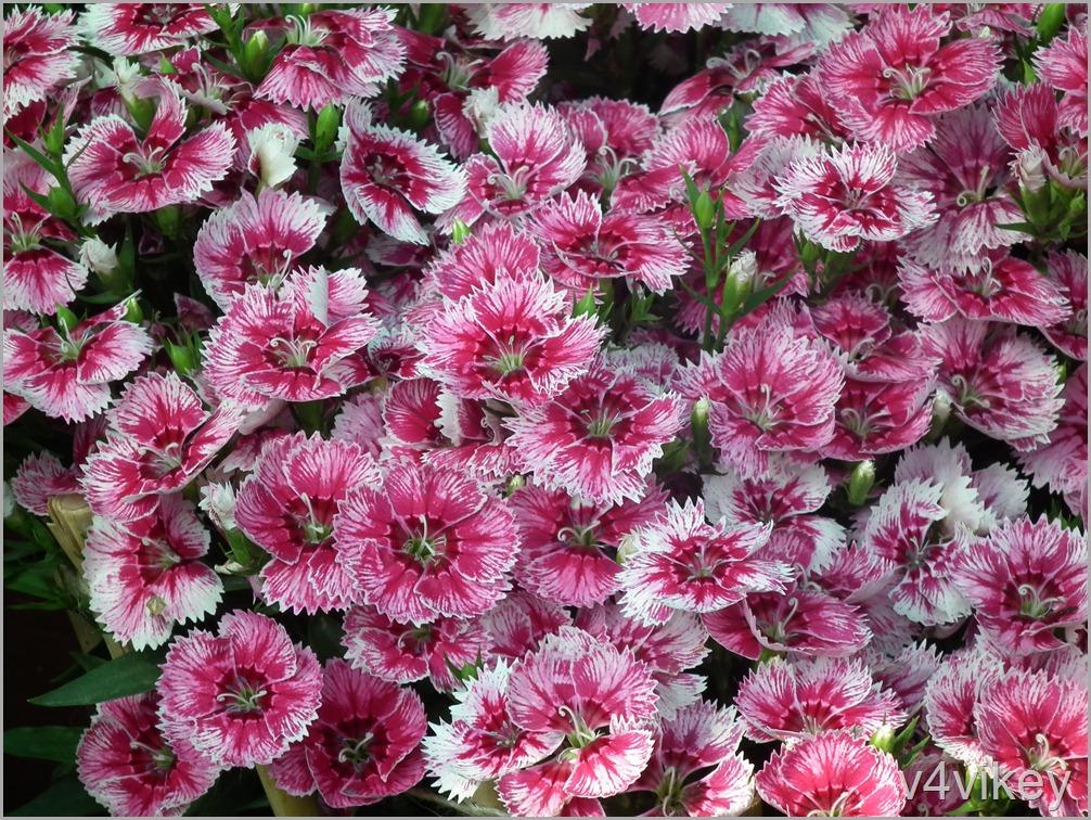 Dianthus barbatus Flower Garden