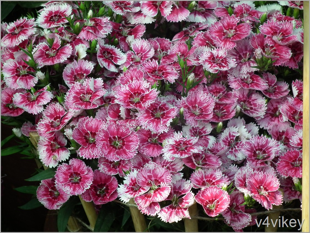 Dianthus barbatus Flower Wallpapers