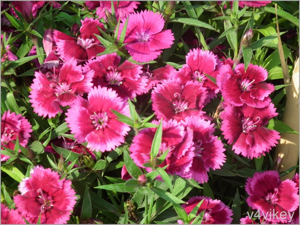 Dianthus Flavora Flowers
