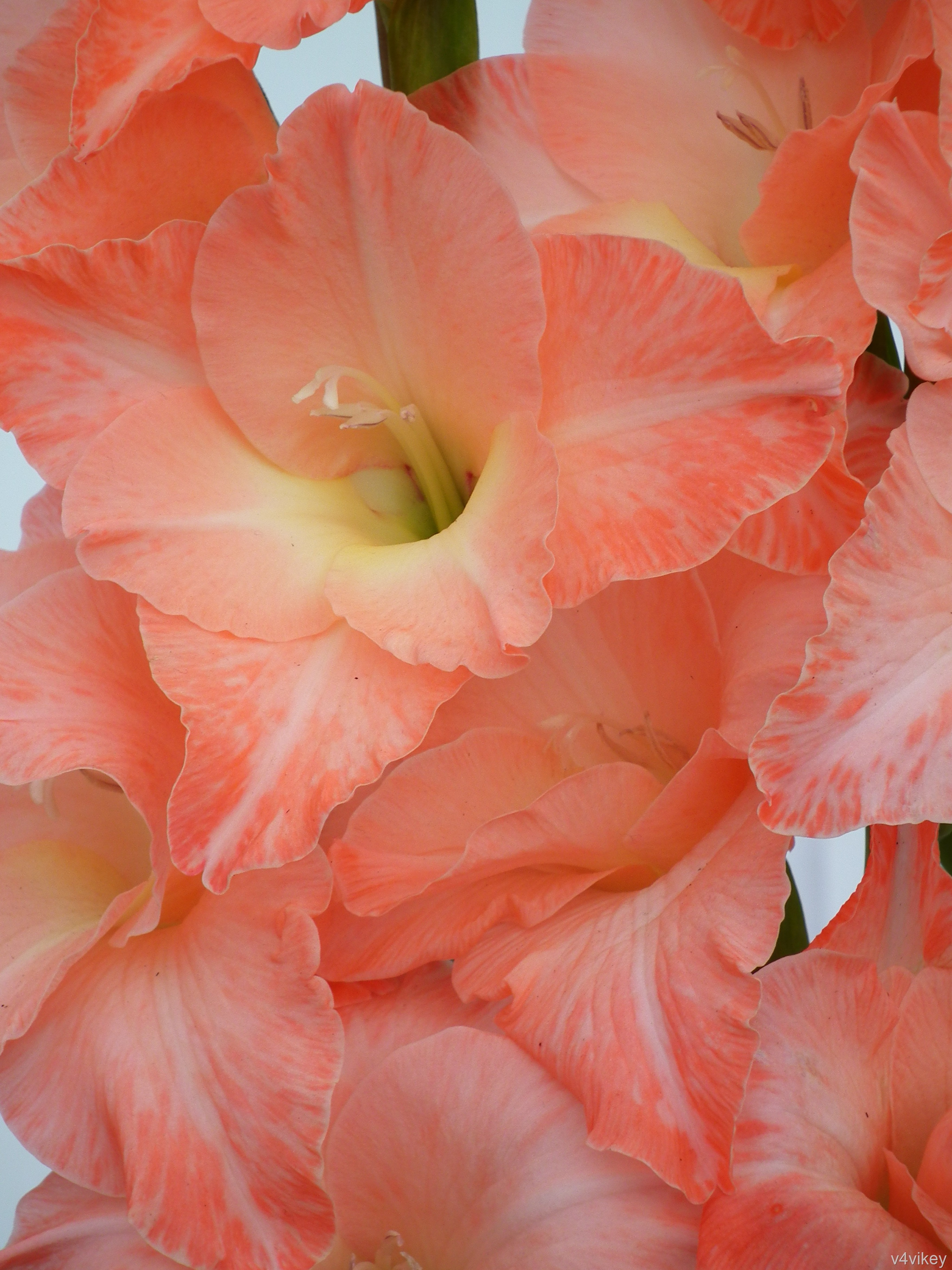 The Gladiolus flower signifies remembrance Wallpaper Tadka