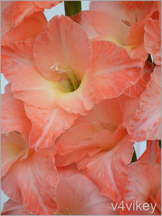 Gladiolus Flower Wallpaper