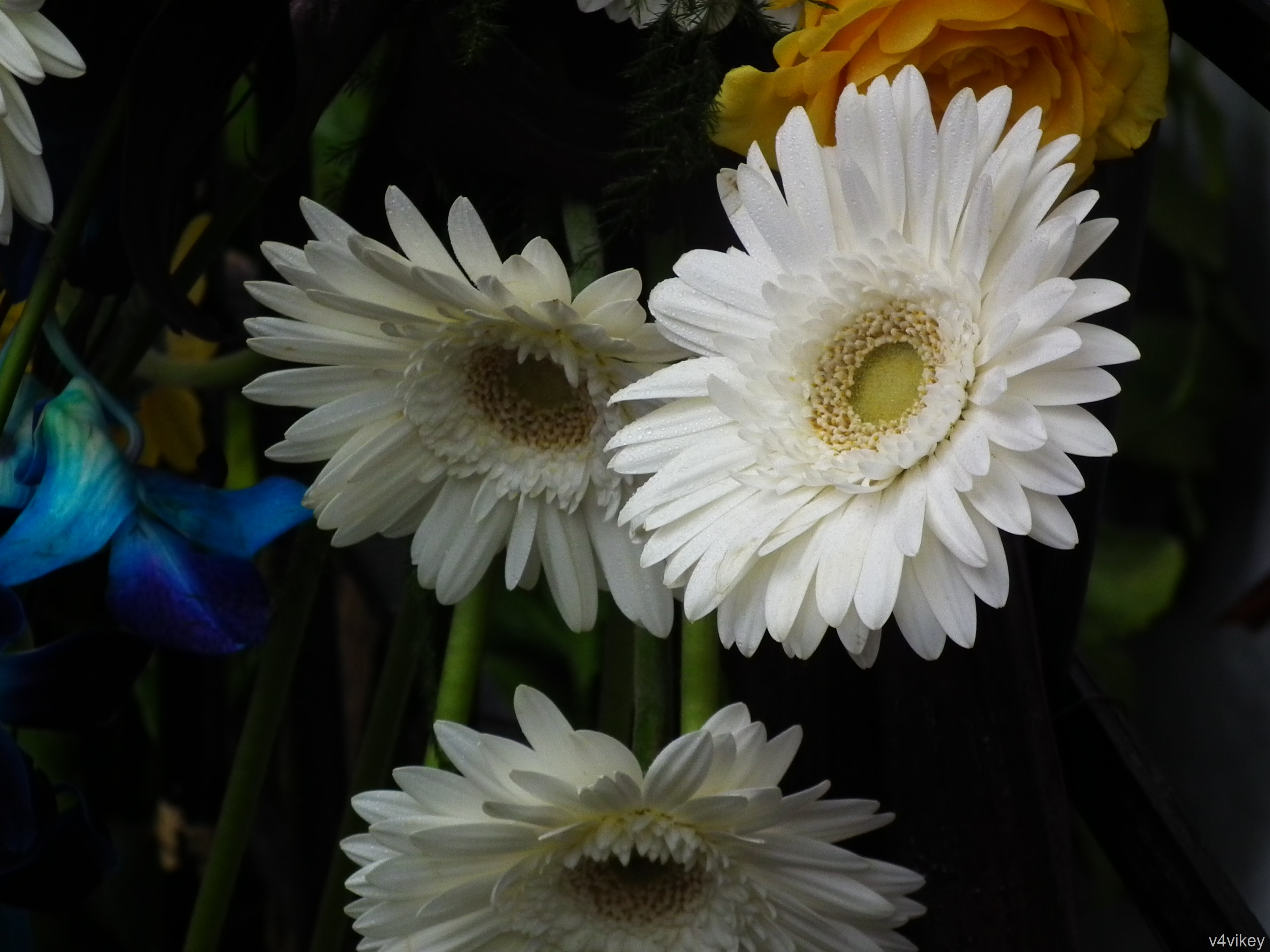 Daisies are simple yet sophisticated wallpaper tadka daisies are simple yet sophisticated izmirmasajfo