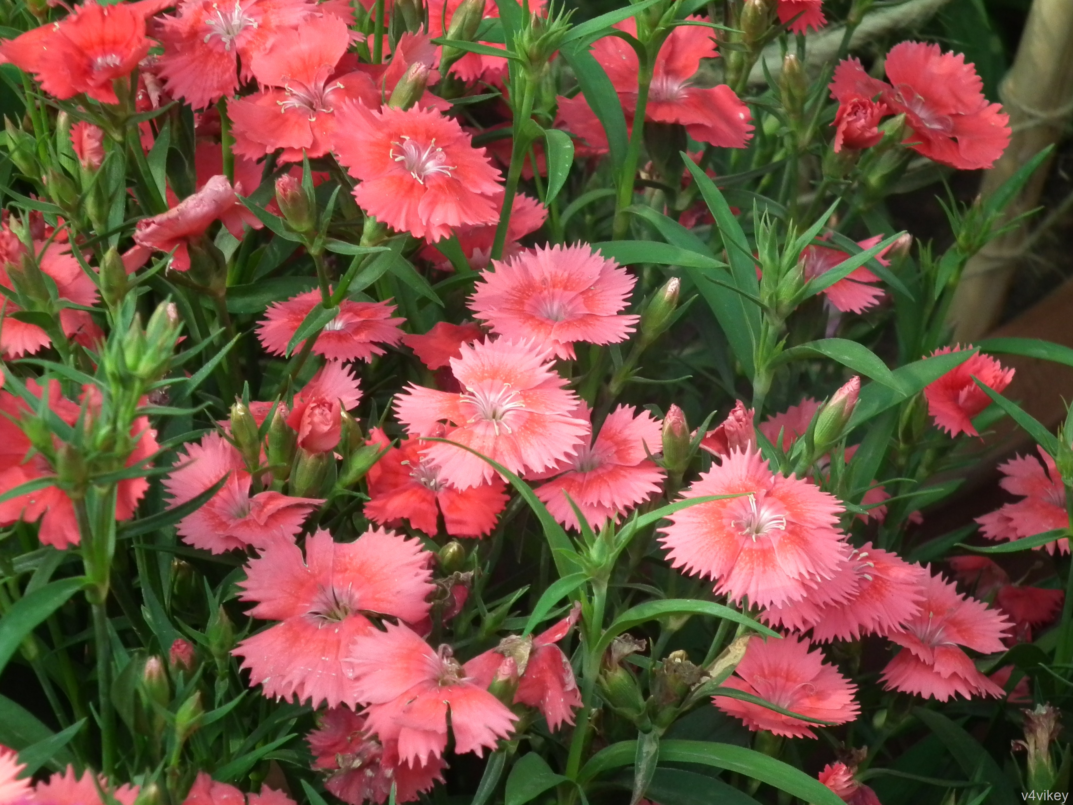 Dianthus first love flowers are beautiful wallpaper tadka dianthus flavora rose flowers izmirmasajfo
