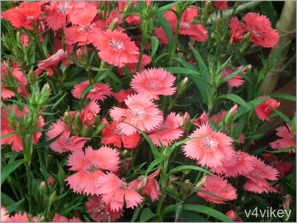Dianthus Flavora Rose Flowers