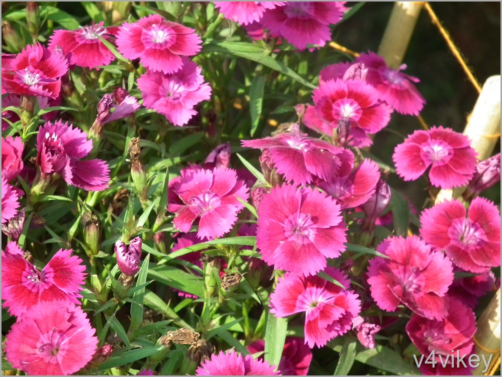 Dianthus Flavora Rose Flower Wallpaper