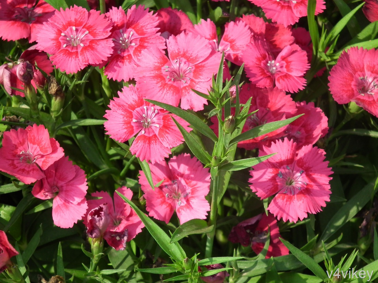 Dianthus Frosty Fire Pinks Are Eye Catching Flowers Wallpaper Tadka