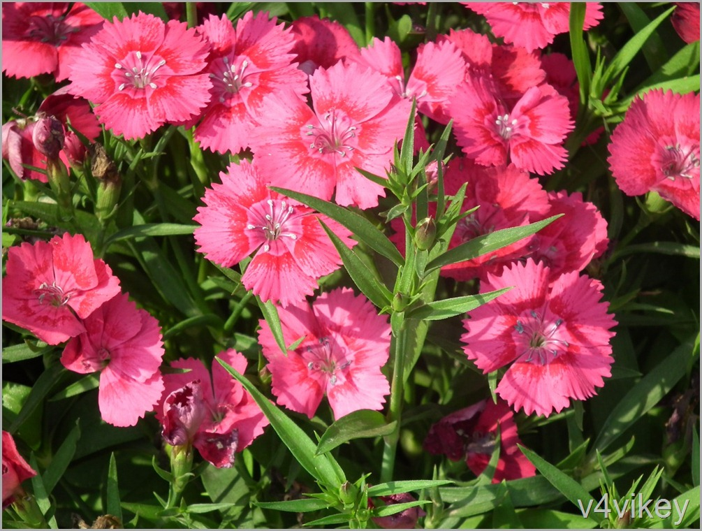 Dianthus Frosty Fire Pinks